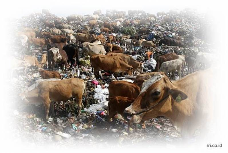 This Cow Lives in A Landfill